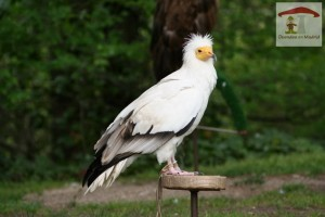 zoo_aguila blanco